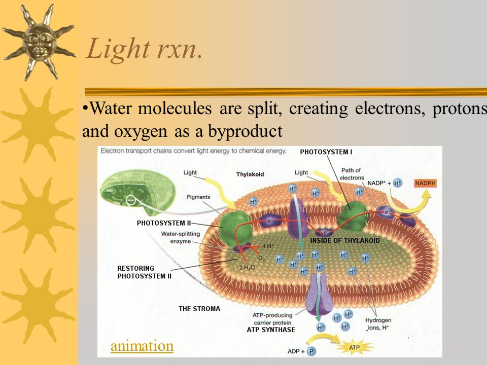 Light rxn. Water molecules are split, creating electrons, protons, and oxygen as a byproduct.