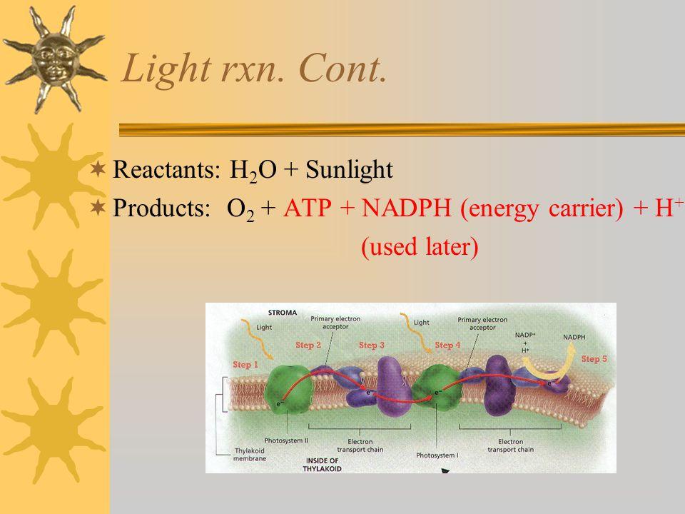 Light rxn. Cont. Reactants: H2O + Sunlight