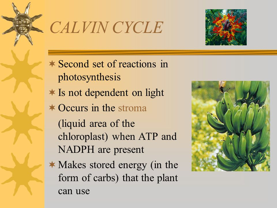 CALVIN CYCLE Second set of reactions in photosynthesis