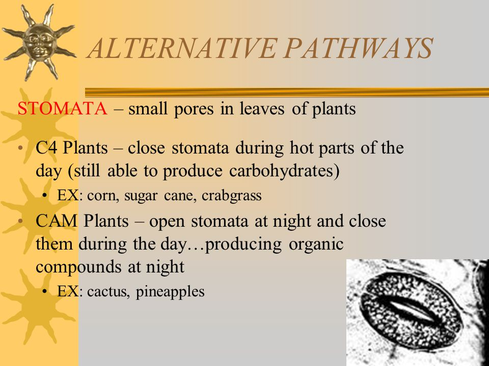 ALTERNATIVE PATHWAYS STOMATA – small pores in leaves of plants