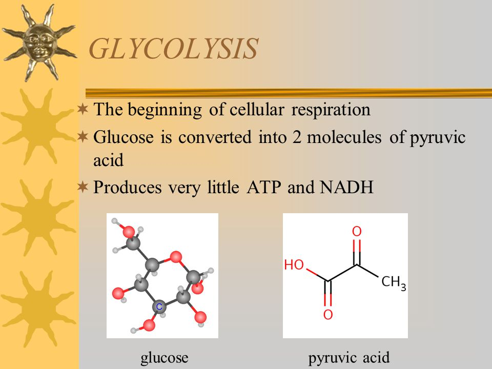 GLYCOLYSIS The beginning of cellular respiration