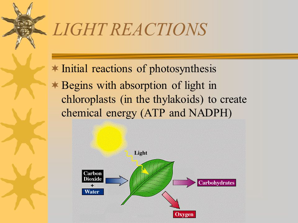 LIGHT REACTIONS Initial reactions of photosynthesis