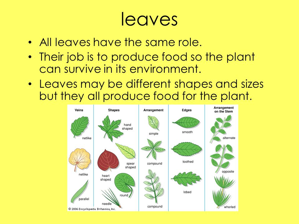 leaves All leaves have the same role.