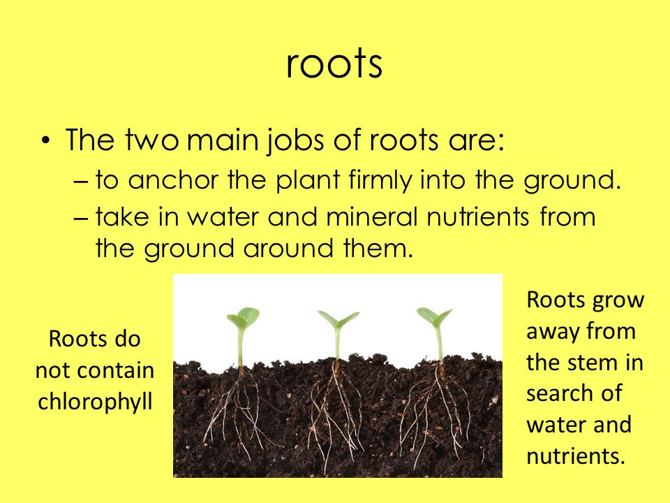 Roots do not contain chlorophyll