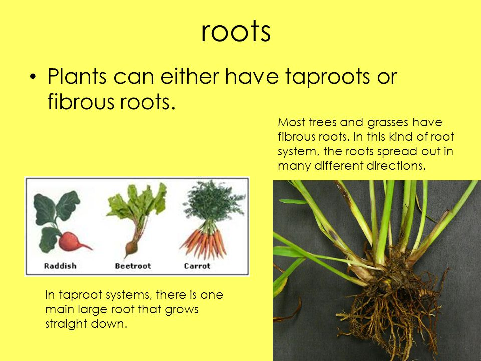 roots Plants can either have taproots or fibrous roots.