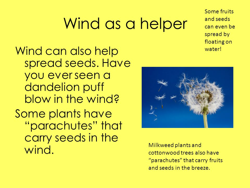 Wind as a helper Some fruits and seeds can even be spread by floating on water!