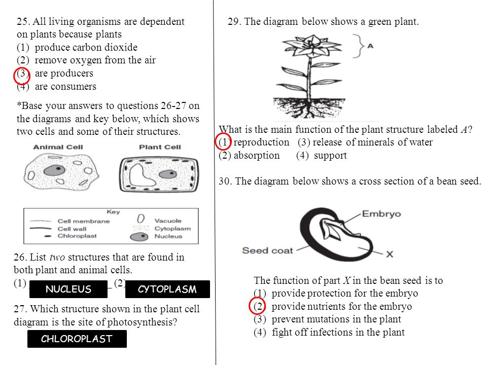 FINAL REVIEW PLANTS 4 The diagram below gives information about – Plant Structure and Function Worksheet