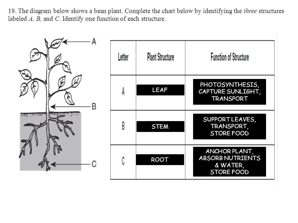19. The diagram below shows a bean plant