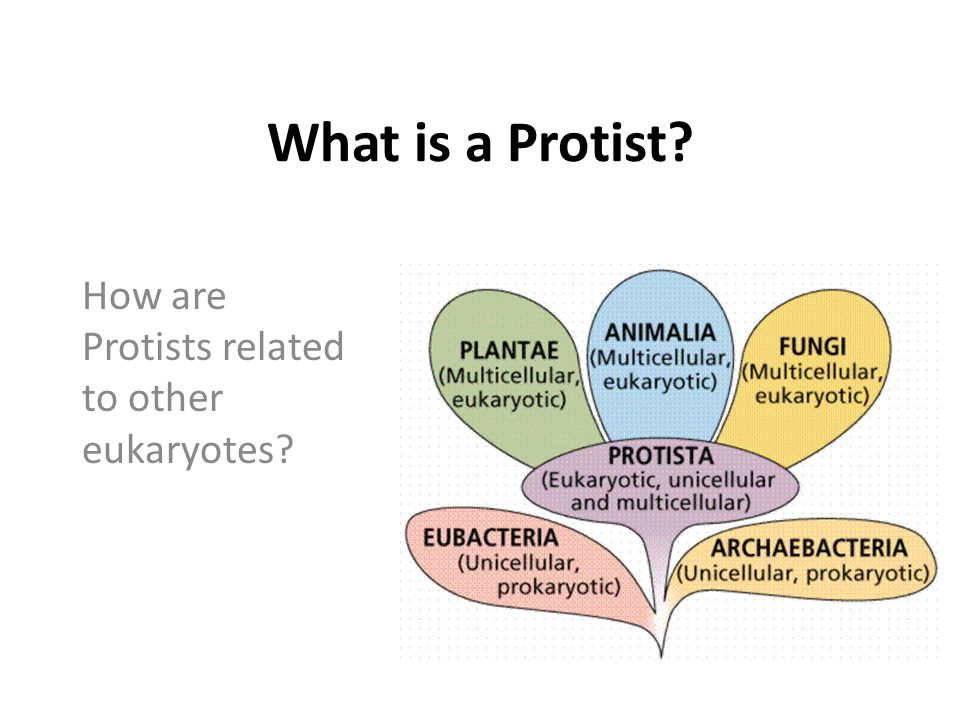 How are Protists related to other eukaryotes