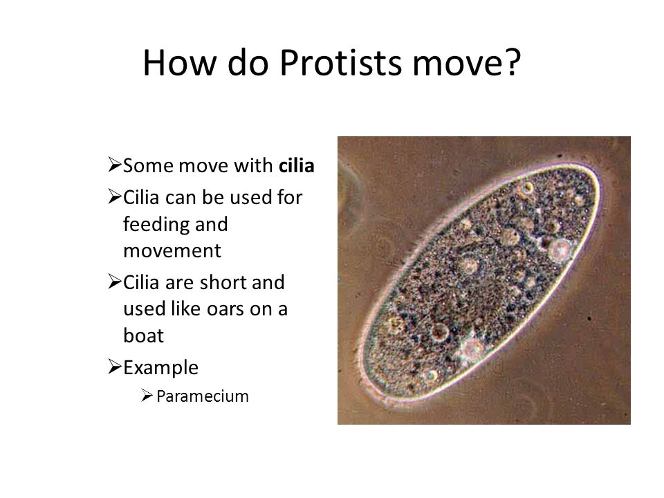 How do Protists move Some move with cilia