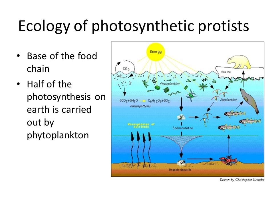 Ecology of photosynthetic protists