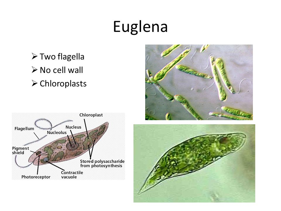 Euglena Two flagella No cell wall Chloroplasts