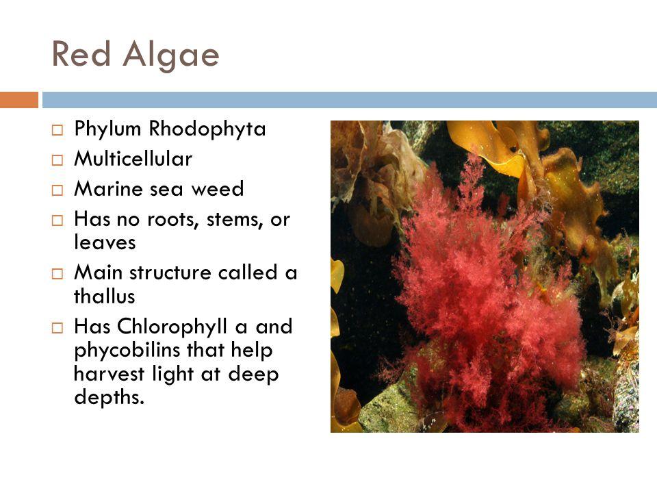 Red Algae Phylum Rhodophyta Multicellular Marine sea weed