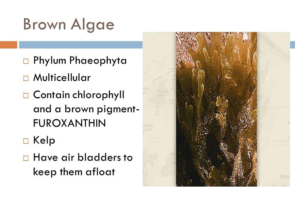 Brown Algae Phylum Phaeophyta Multicellular