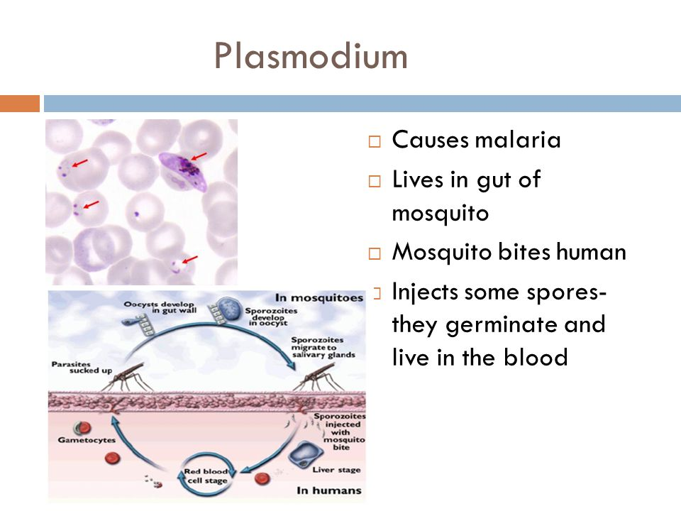 Plasmodium Causes malaria Lives in gut of mosquito
