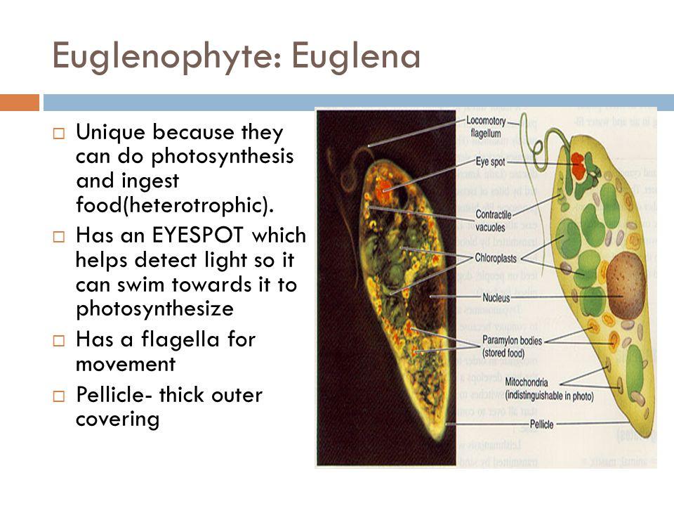 Euglenophyte: Euglena