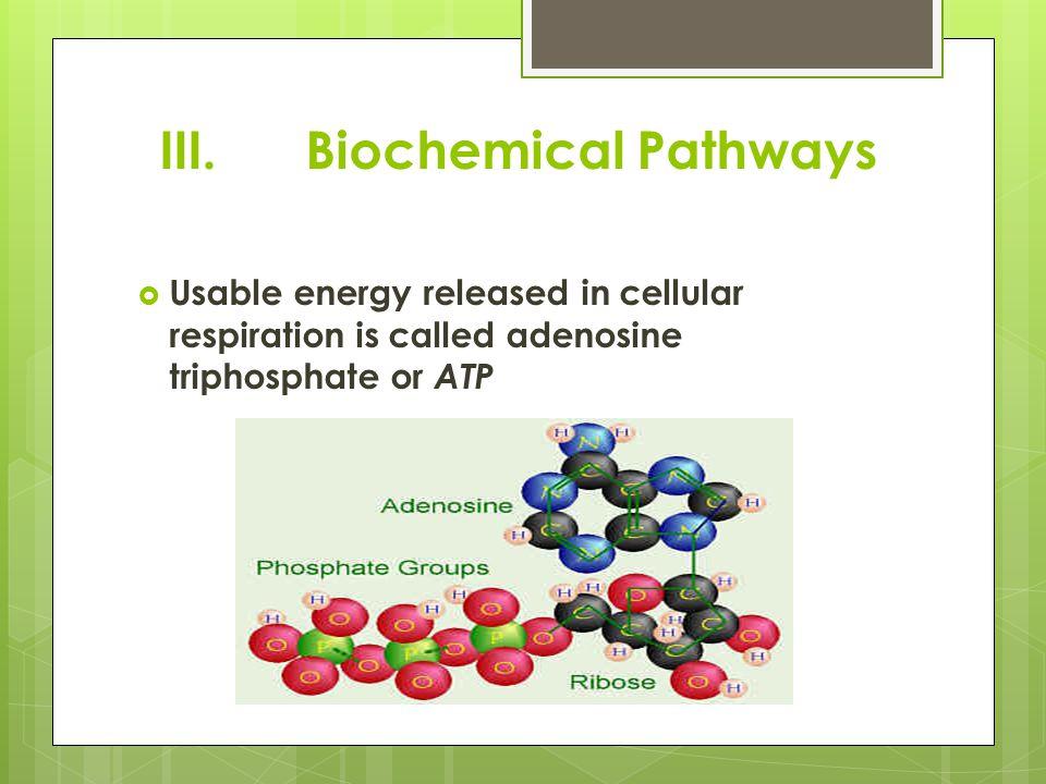 III. Biochemical Pathways