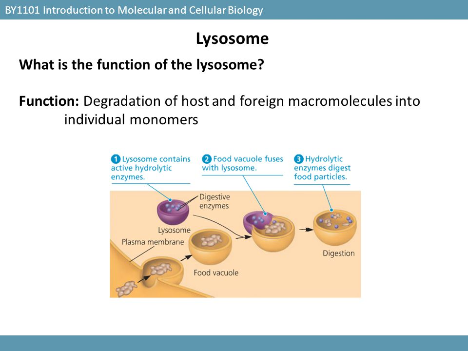 Lysosome What is the function of the lysosome