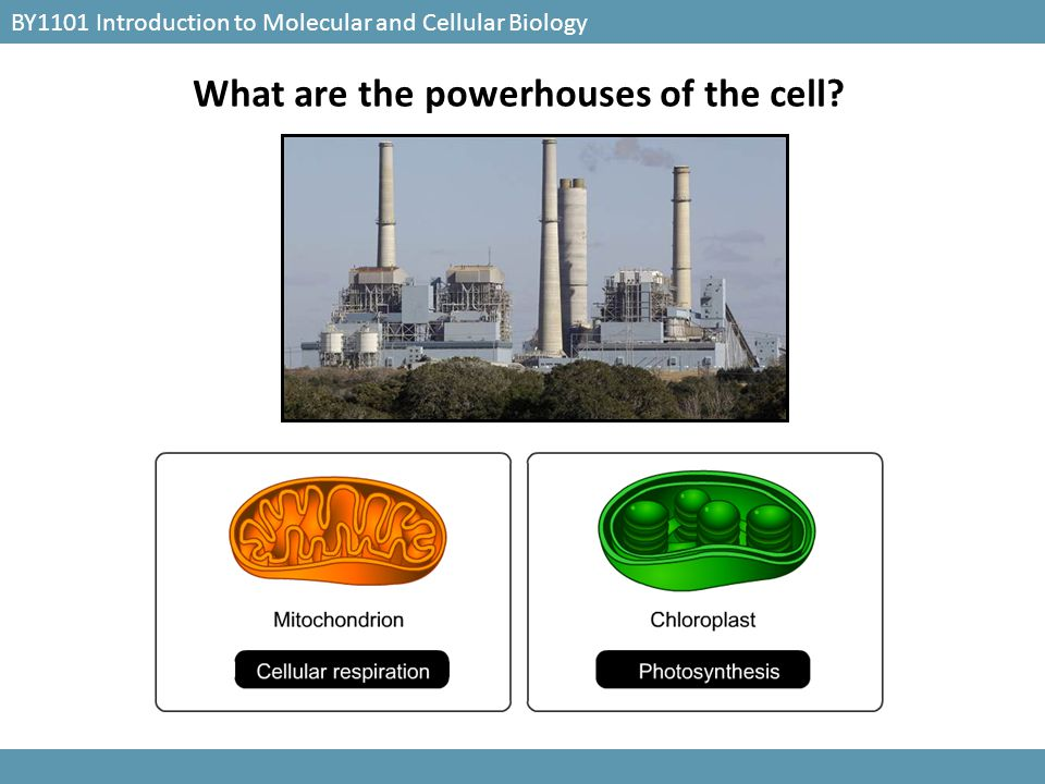 What are the powerhouses of the cell