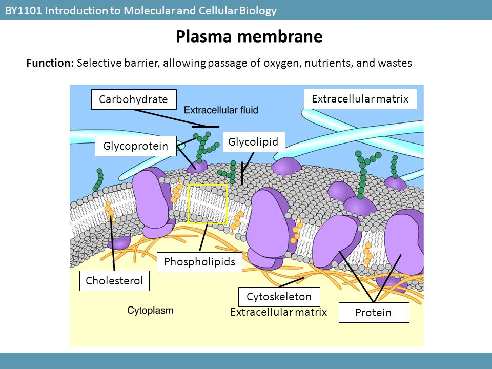Plasma membrane BY1101 Introduction to Molecular and Cellular Biology