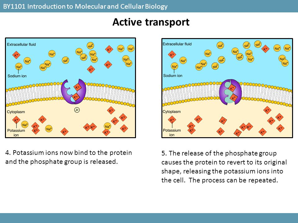 Active transport BY1101 Introduction to Molecular and Cellular Biology