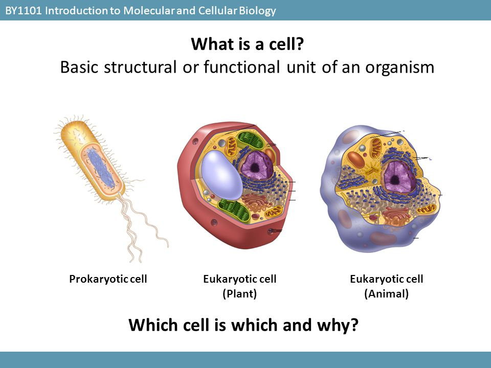 Which cell is which and why