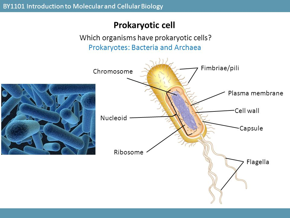 Prokaryotic cell Which organisms have prokaryotic cells