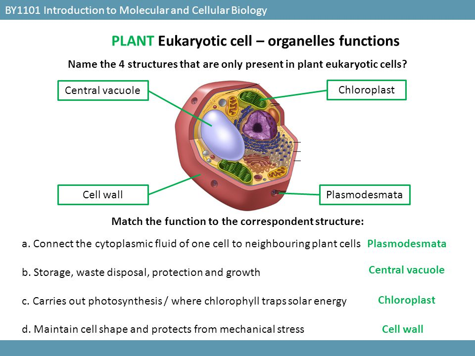 PLANT Eukaryotic cell – organelles functions