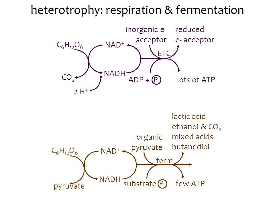 heterotrophy: respiration & fermentation