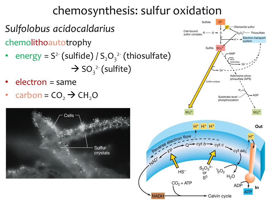 chemosynthesis of sulfur Chemosynthetic habitats and society (invited talks, sponsored by the deep  8,  benjamin jelen: revealing the genes responsible for sulfur respiration in.