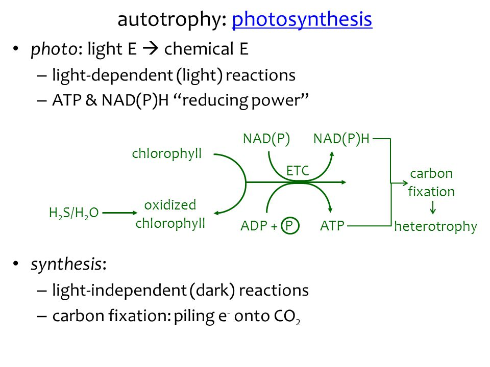 autotrophy: photosynthesis