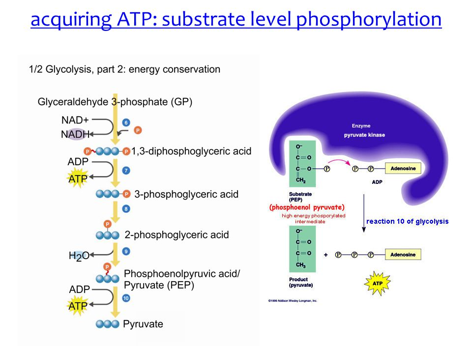 acquiring ATP: substrate level phosphorylation