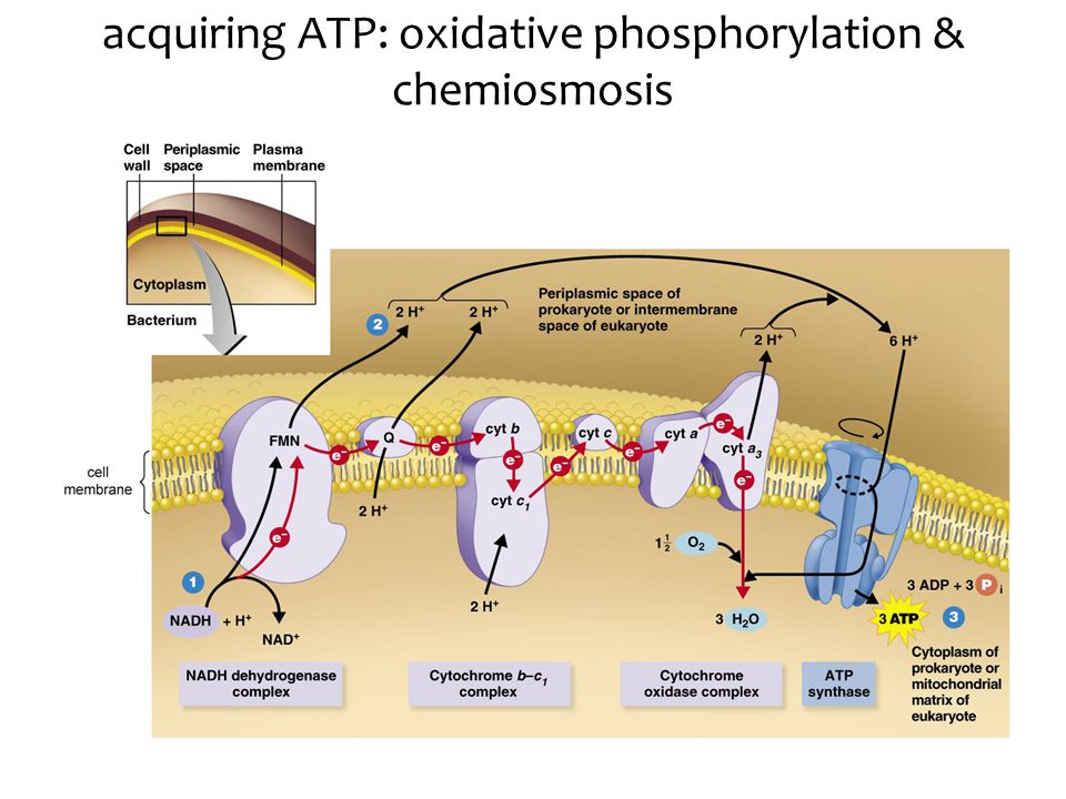 acquiring ATP: oxidative phosphorylation & chemiosmosis