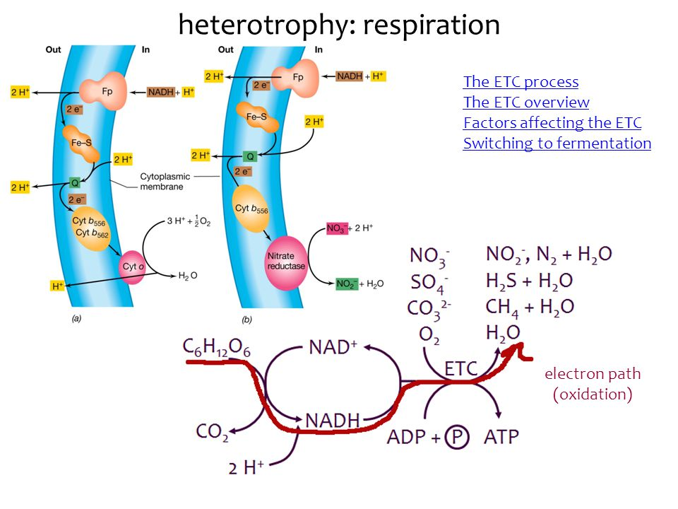heterotrophy: respiration