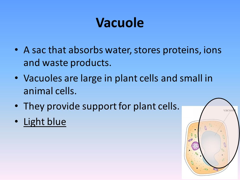 Vacuole A sac that absorbs water, stores proteins, ions and waste products. Vacuoles are large in plant cells and small in animal cells.