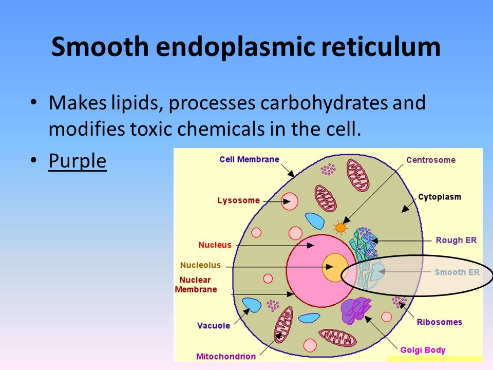 Smooth endoplasmic reticulum