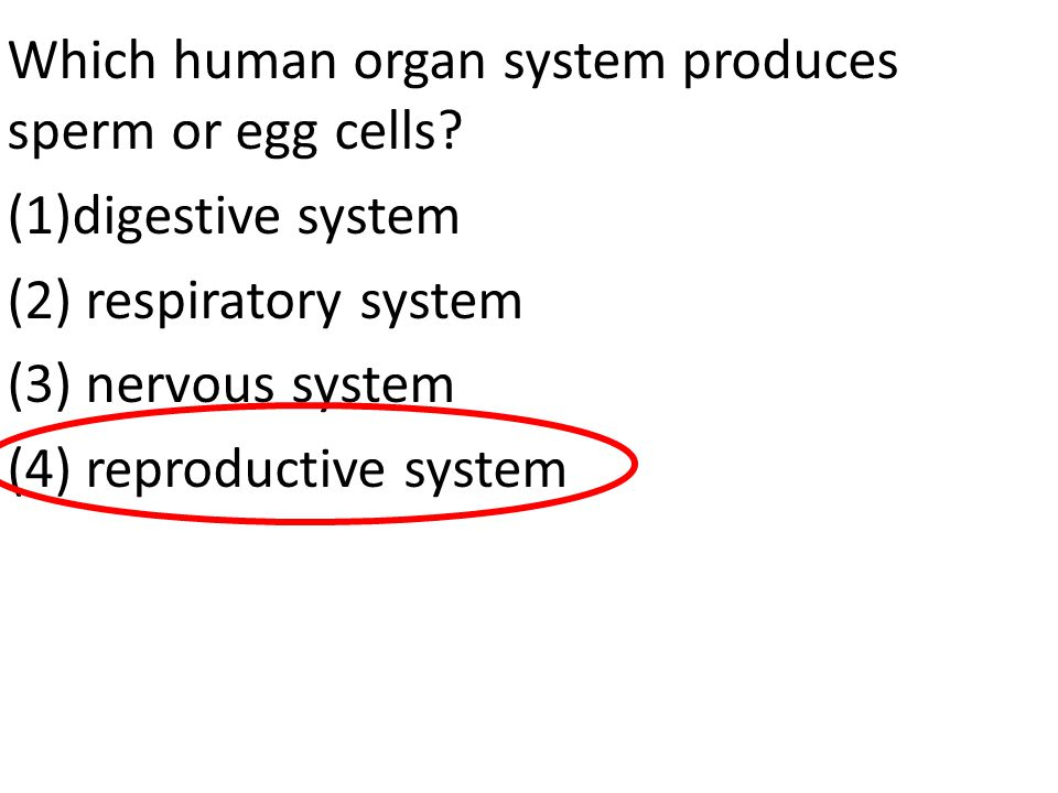Which human organ system produces sperm or egg cells