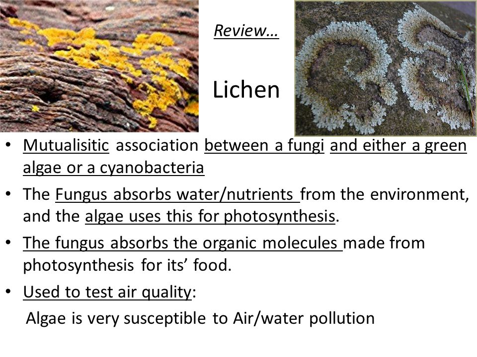 Review… Lichen Mutualisitic association between a fungi and either a green algae or a cyanobacteria.