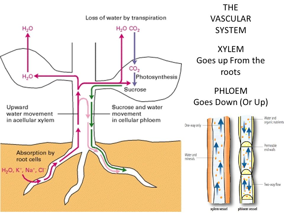 THE VASCULAR SYSTEM XYLEM Goes up From the roots PHLOEM Goes Down (Or Up)