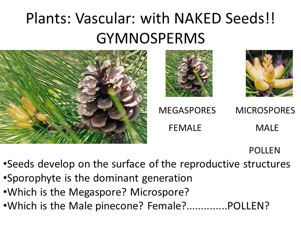 Plants: Vascular: with NAKED Seeds!! GYMNOSPERMS