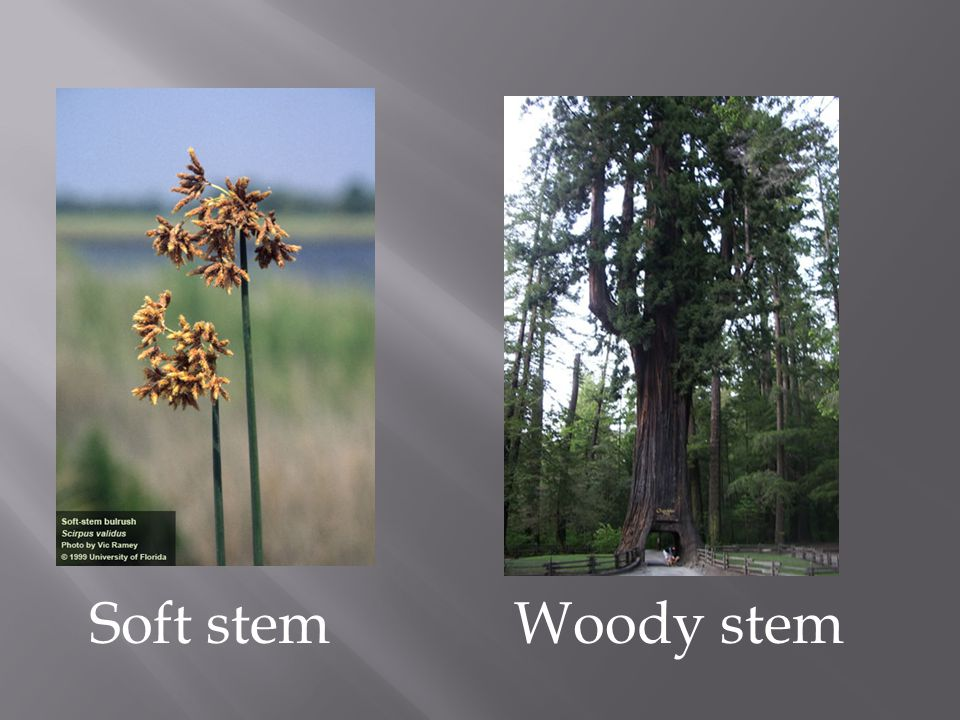 Soft stem Woody stem