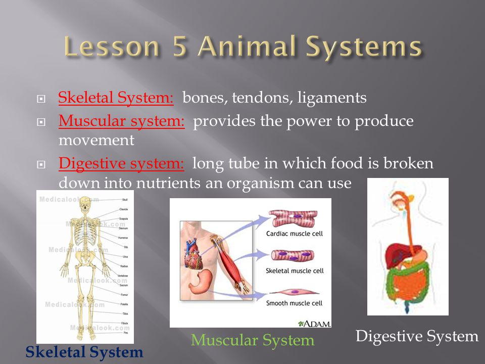 Lesson 5 Animal Systems Skeletal System: bones, tendons, ligaments