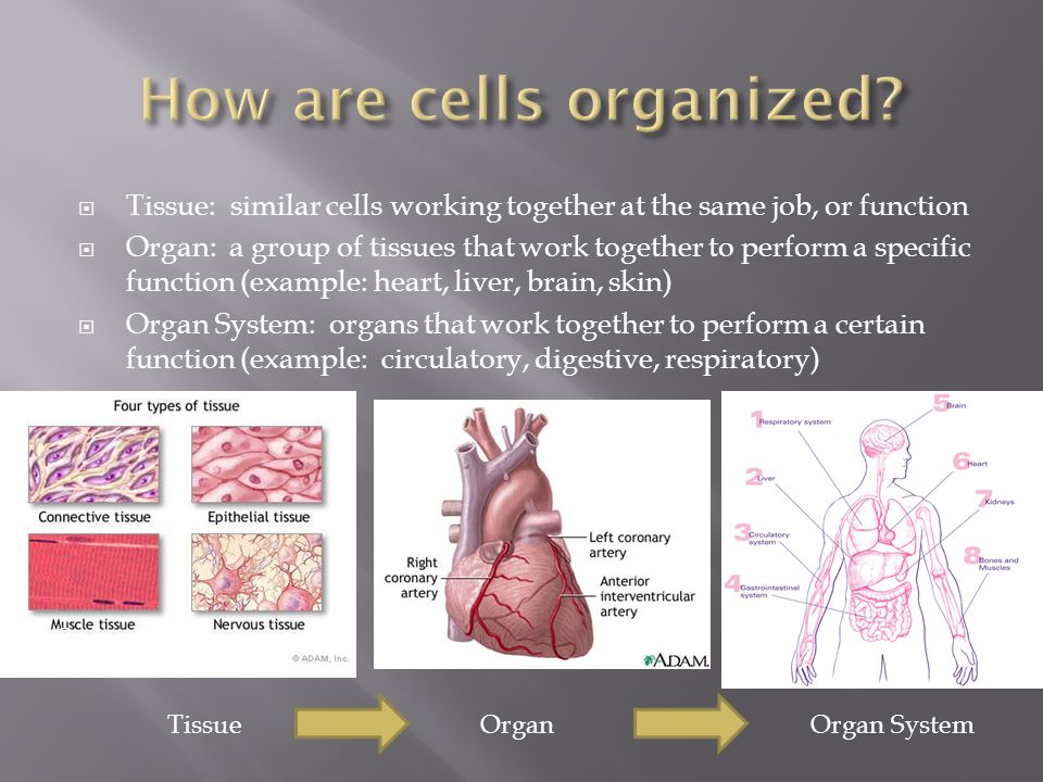 How are cells organized