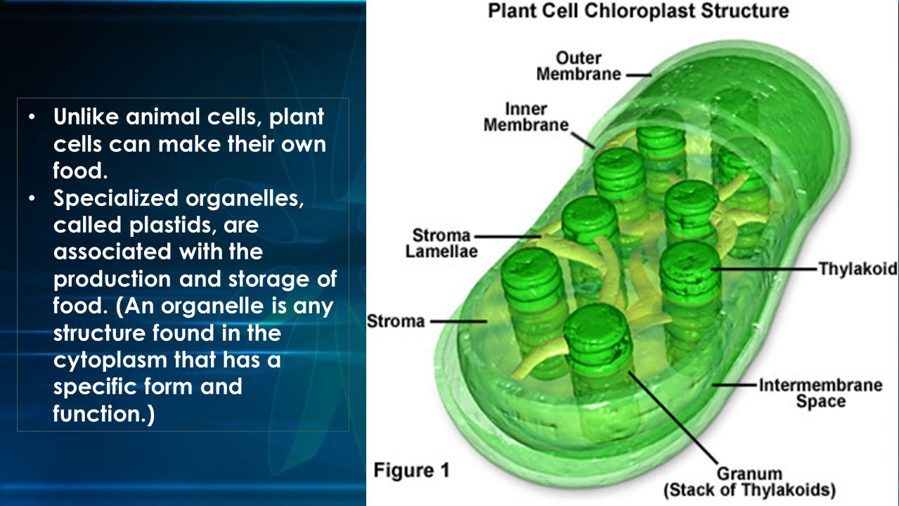Unlike animal cells, plant cells can make their own food.