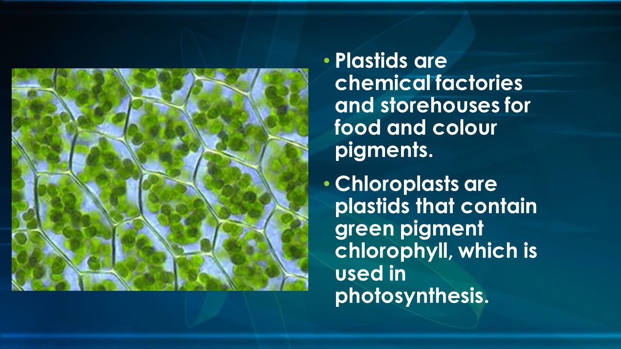 Plastids are chemical factories and storehouses for food and colour pigments.