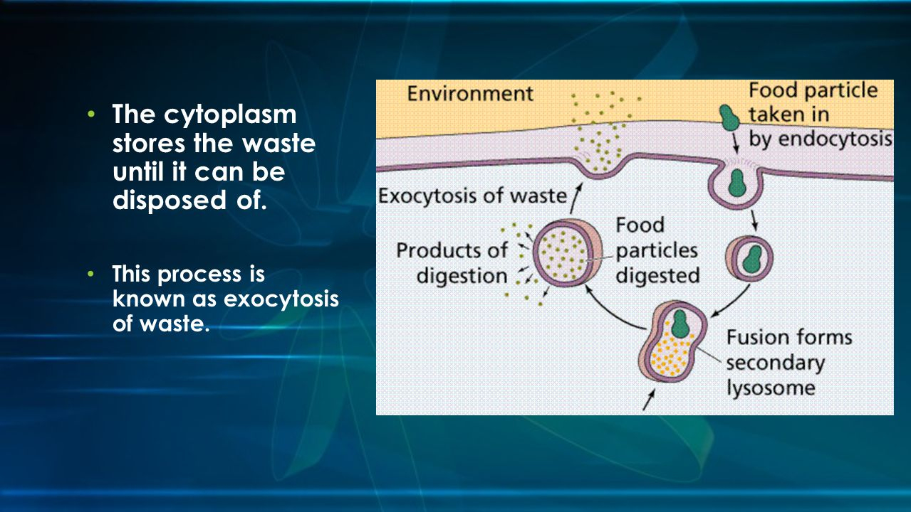 The cytoplasm stores the waste until it can be disposed of.