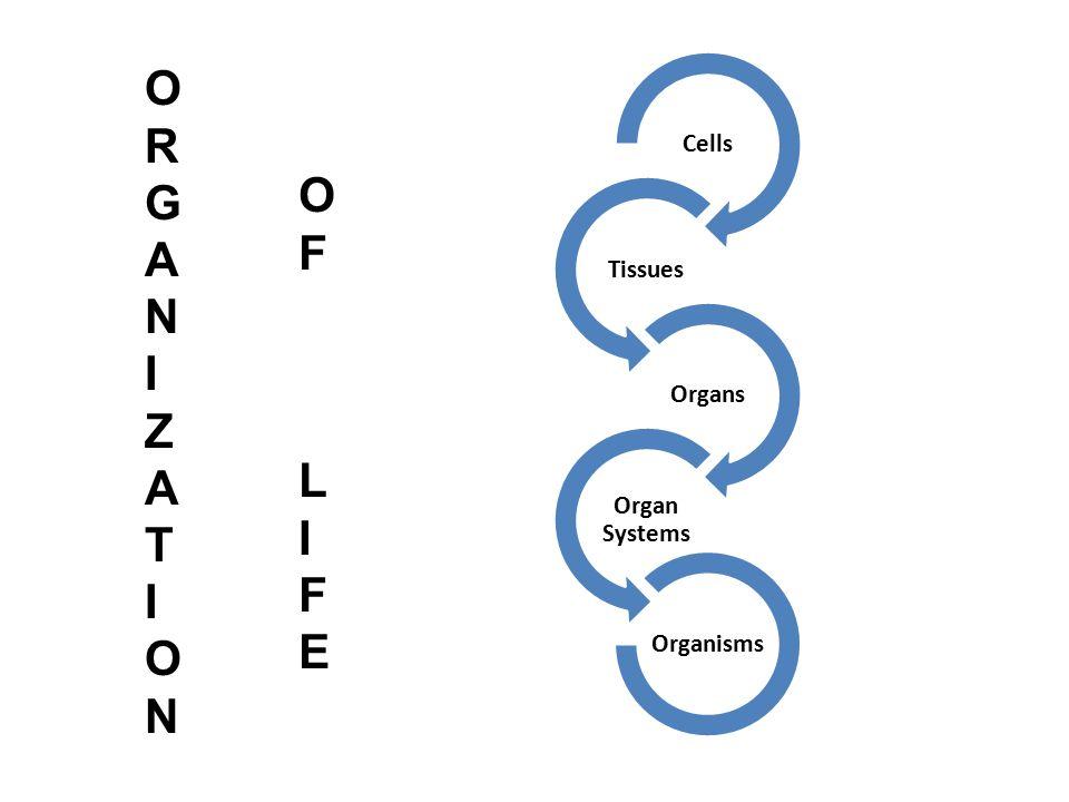 Cells Tissues Organs Organ Systems Organisms O R G A N I Z T O F L I E