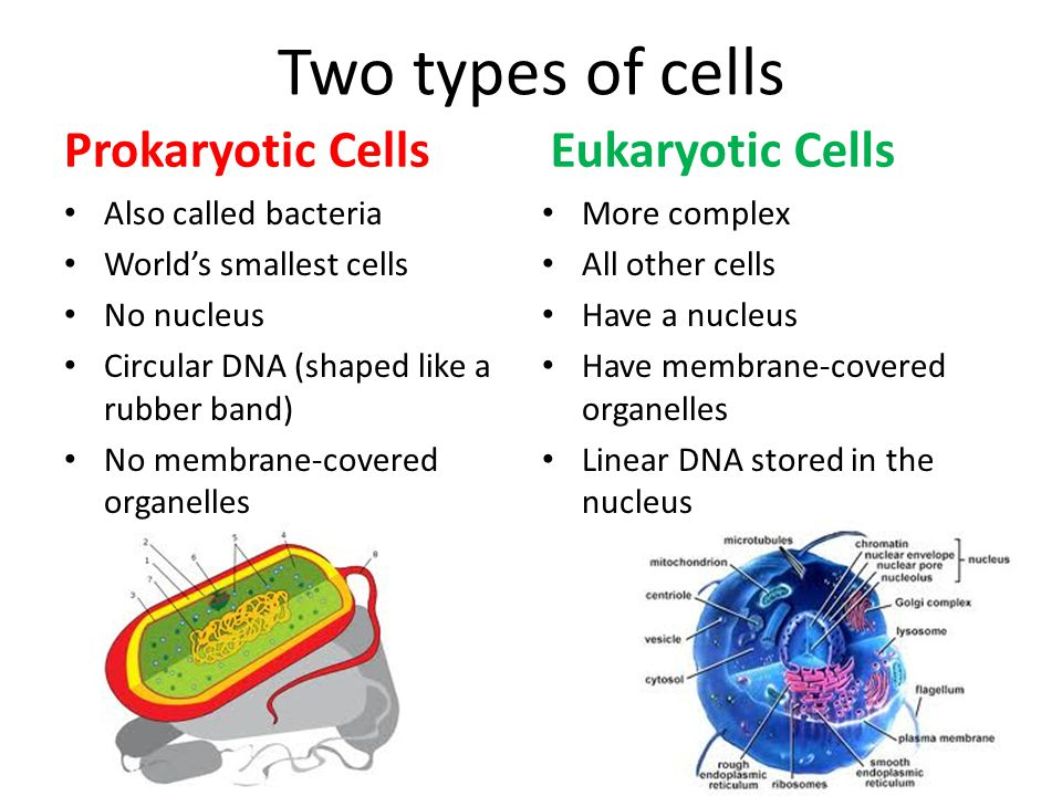 Two types of cells Prokaryotic Cells Eukaryotic Cells
