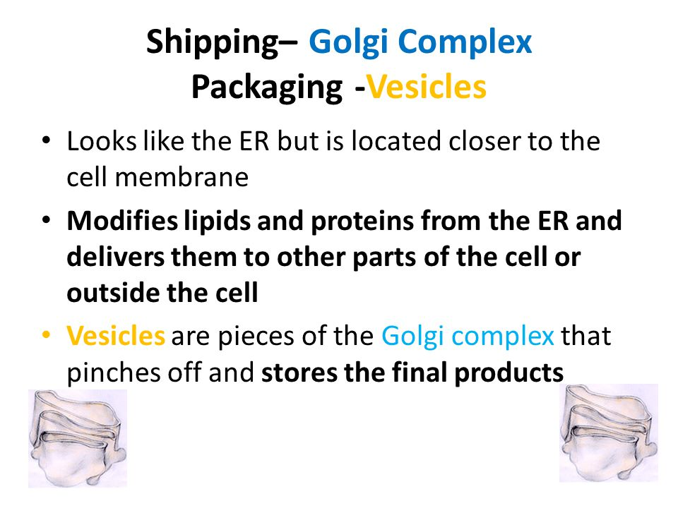 Shipping– Golgi Complex Packaging -Vesicles