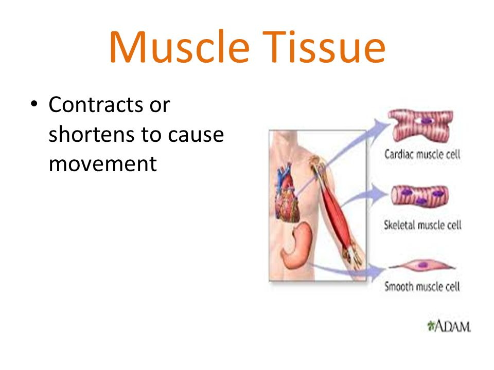 Muscle Tissue Contracts or shortens to cause movement